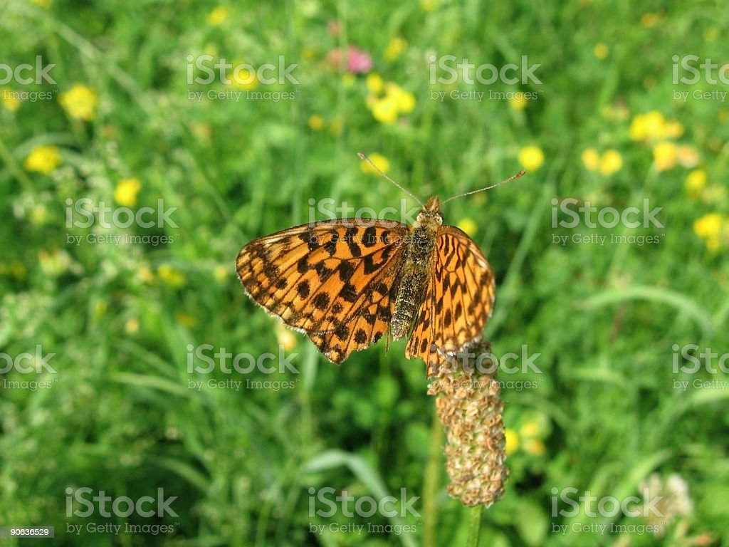 Spotted brown butterfly stock photo