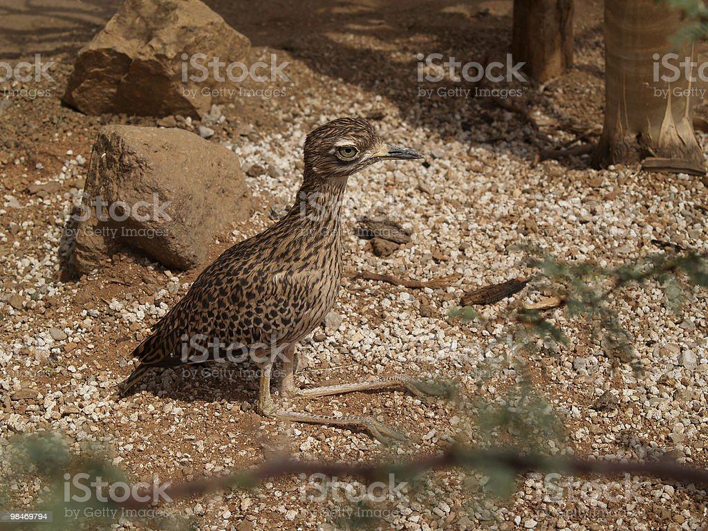 Spotted Bush Thick-Knee Sunning in the Sand. stock photo