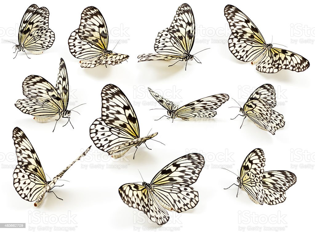 Spotted Butterflies isolated on white stock photo