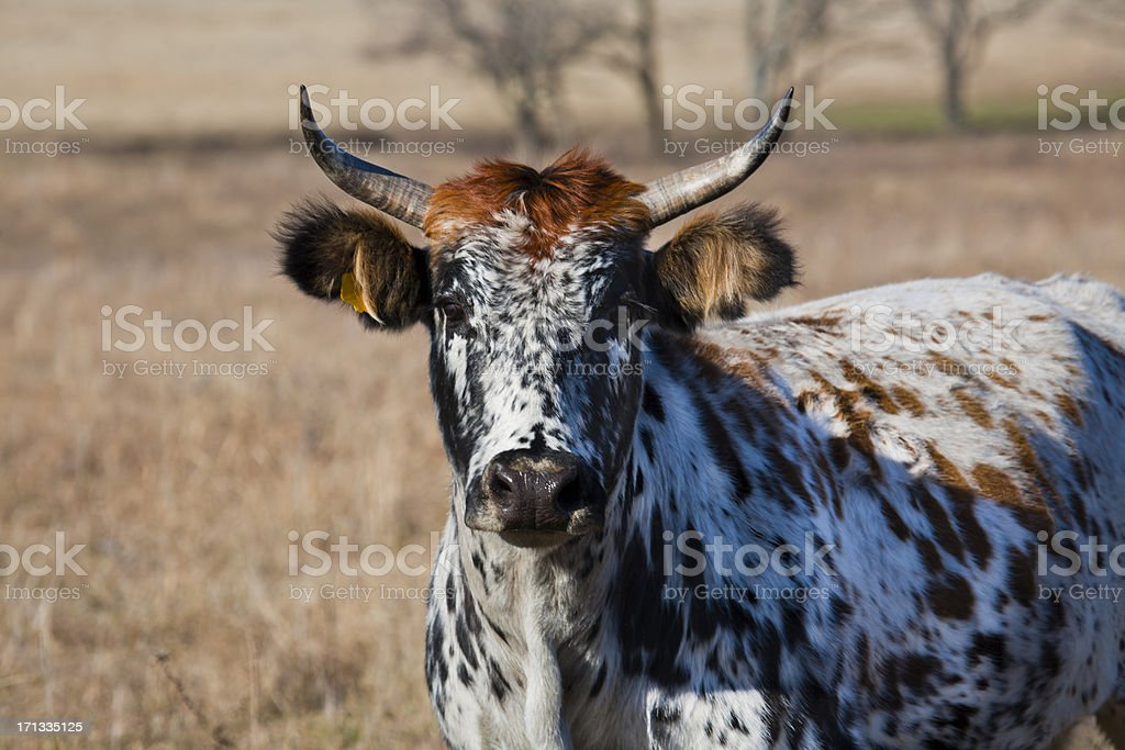 Spotted Cattle royalty-free stock photo