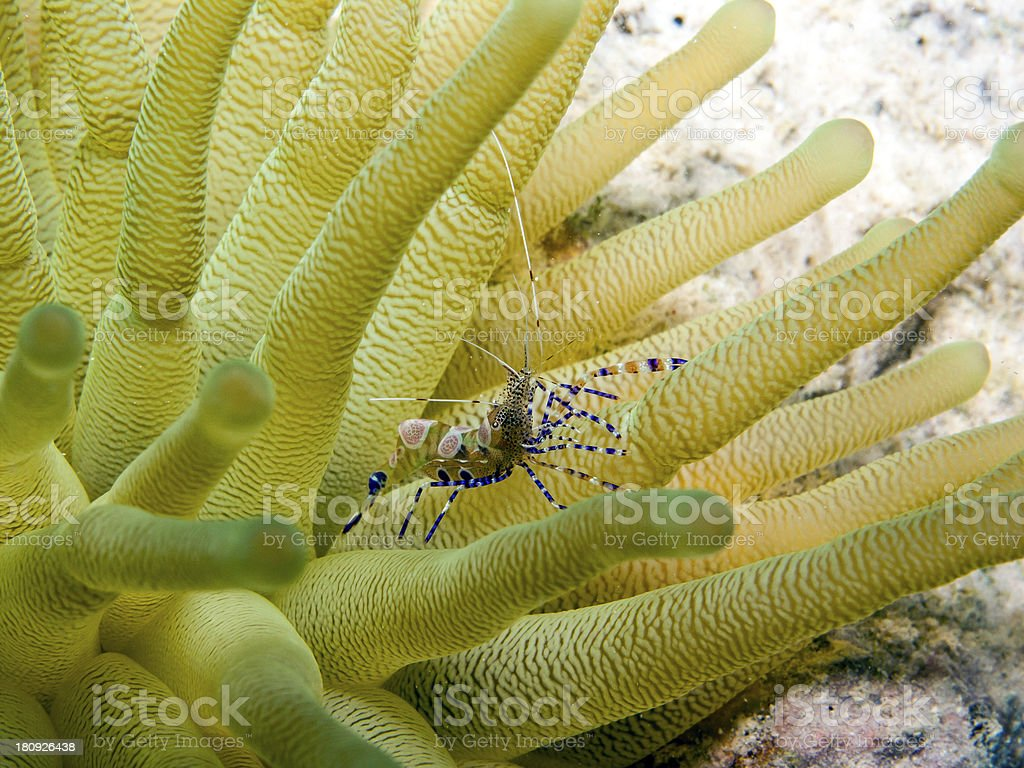 spotted cleaner shrimp (Periclimenes yucatanicus) stock photo