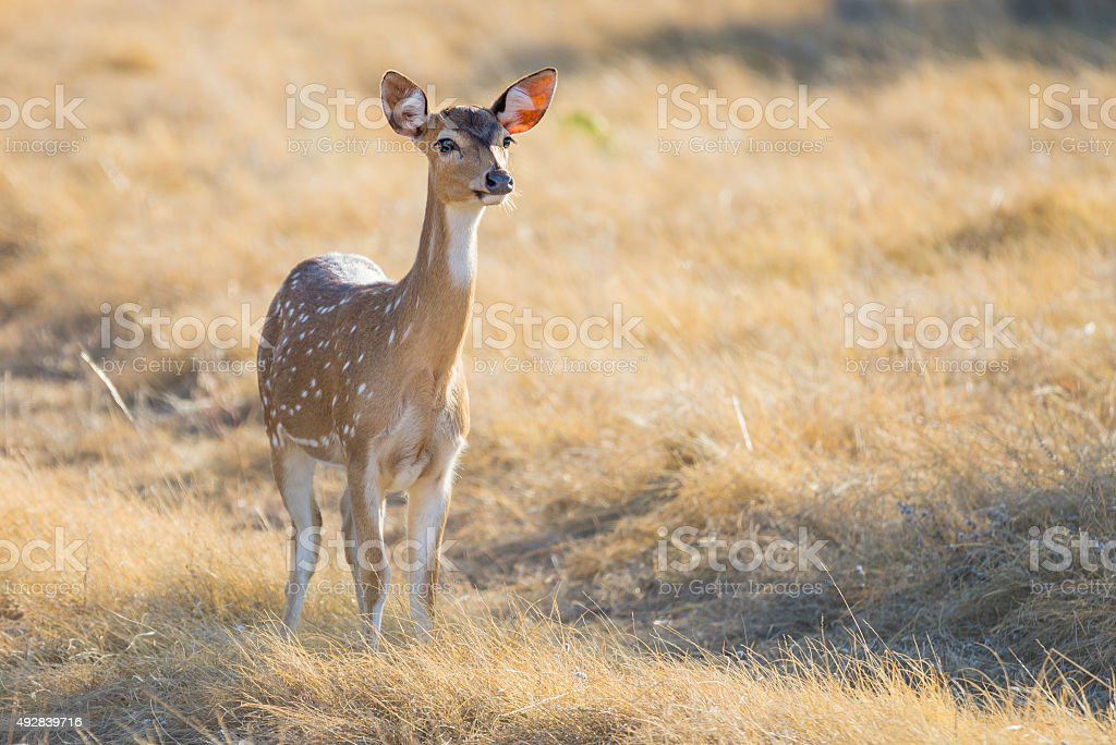 Spotted Deer Doe stock photo