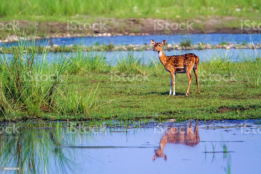 Spotted Deer in Bardia national park, Nepal stock photo
