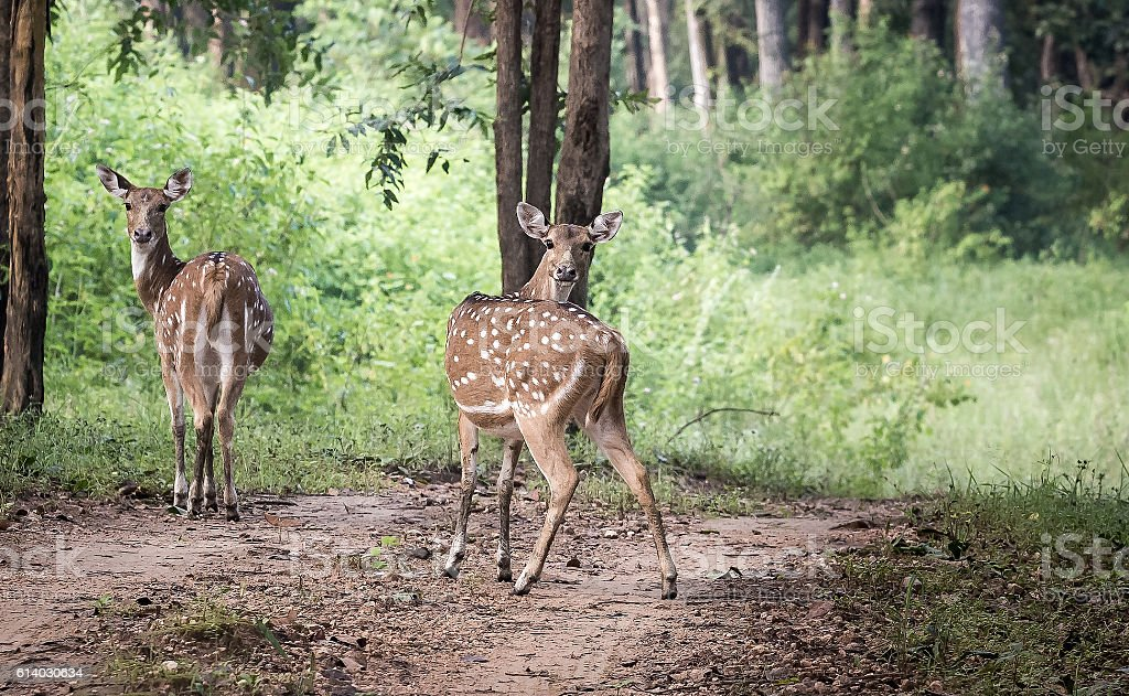 Spotted deer, India stock photo
