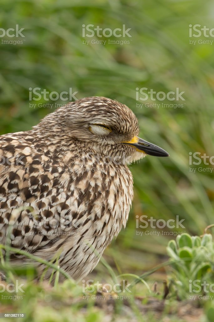Spotted Dikkop asleep close up stock photo