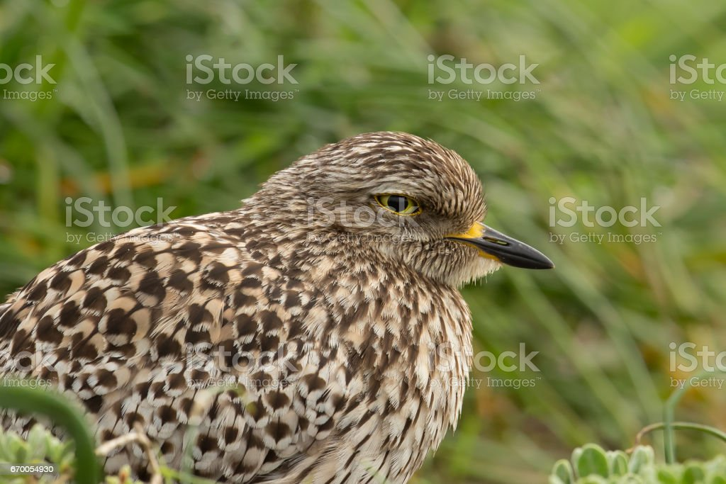 Spotted Dikkop close up stock photo