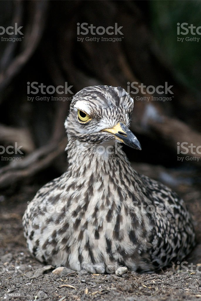 Spotted Dikkop royalty-free stock photo