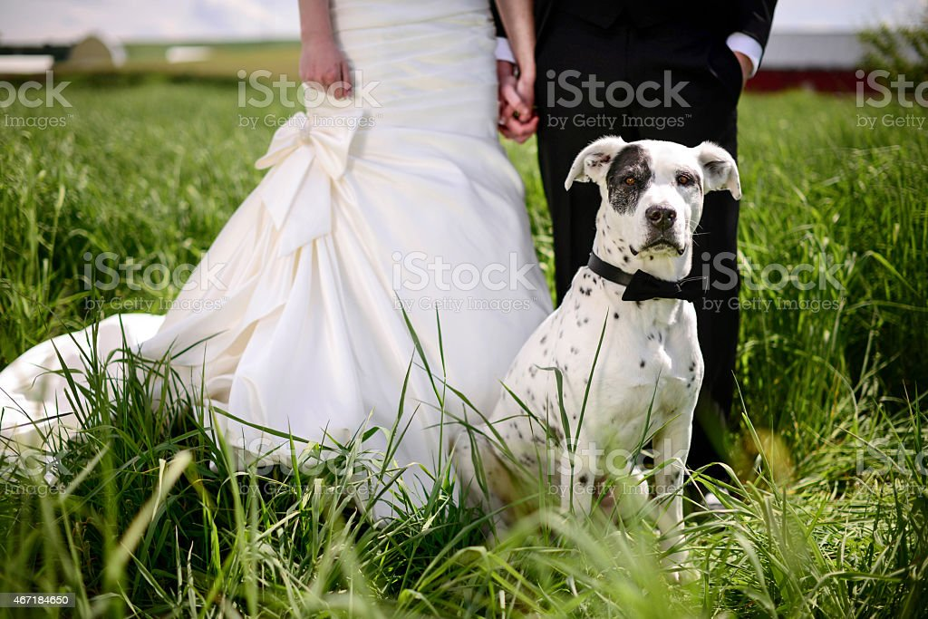 Spotted dog attends a wedding as best man stock photo