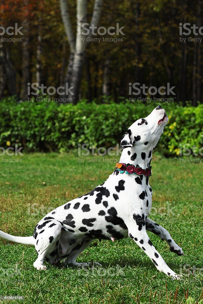 Spotted dog Dalmatian walks with the Park, engaged in training stock photo