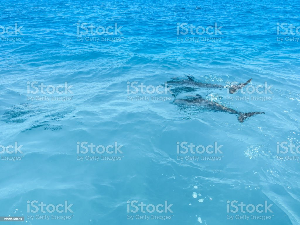 Spotted Dolphins Surfacing stock photo