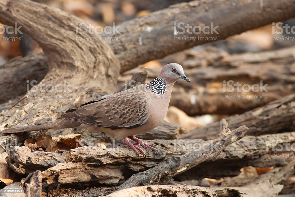 Spotted dove bird royalty-free stock photo