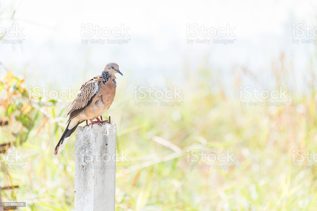 Spotted Dove standing on Concrete poles stock photo