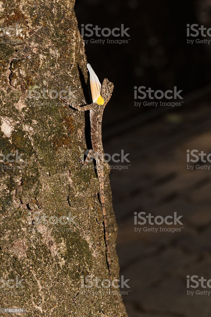 Spotted dragon or Orange-winged flying lizard stock photo