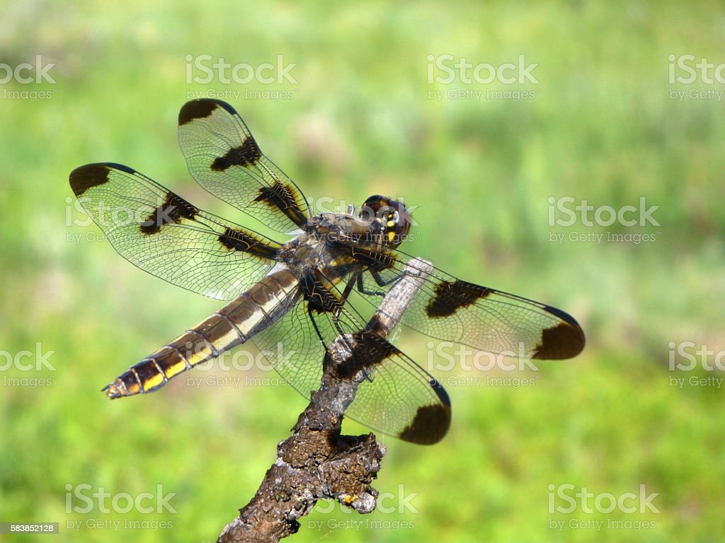 Spotted dragonfly perched Jefferson County Colorado mountains stock photo