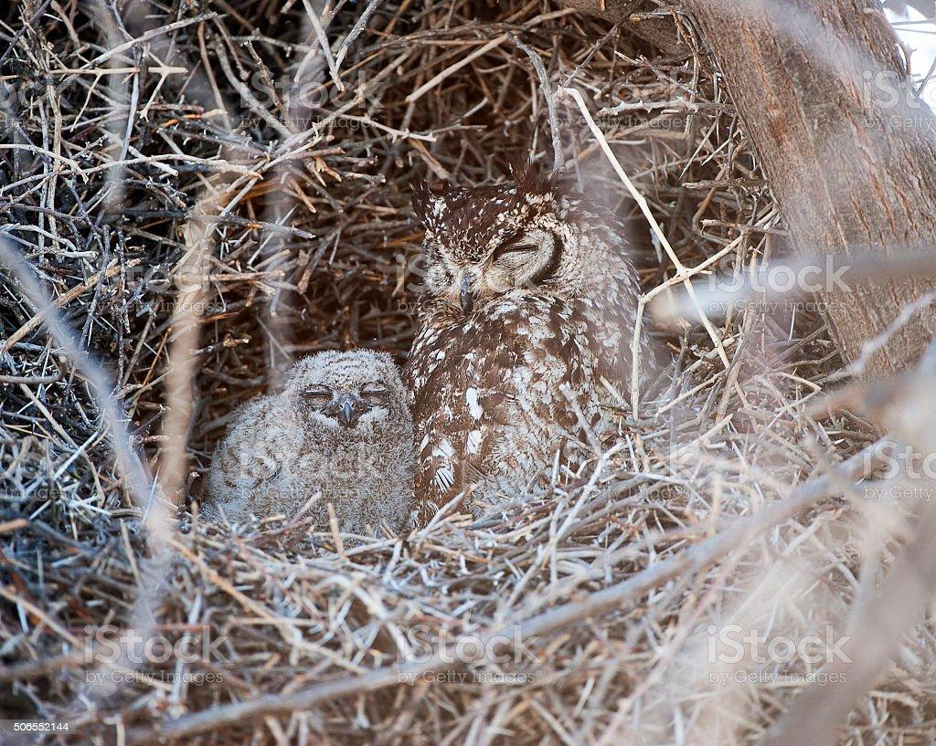 Spotted Eagle Owl and chick,Etosha National Park, Namibia, Africa stock photo