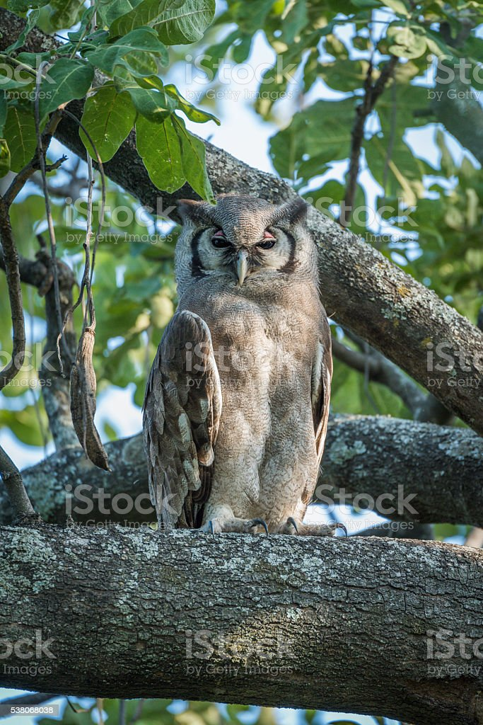 Spotted eagle owl in tree facing camera stock photo