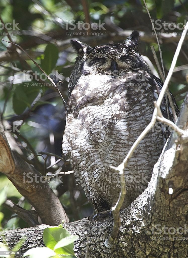 Spotted Eagle- Owl stock photo