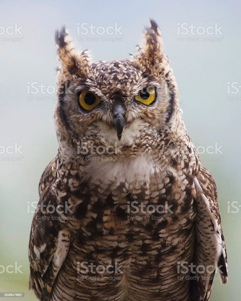 Spotted eagle owl (Bubo africanus) stock photo