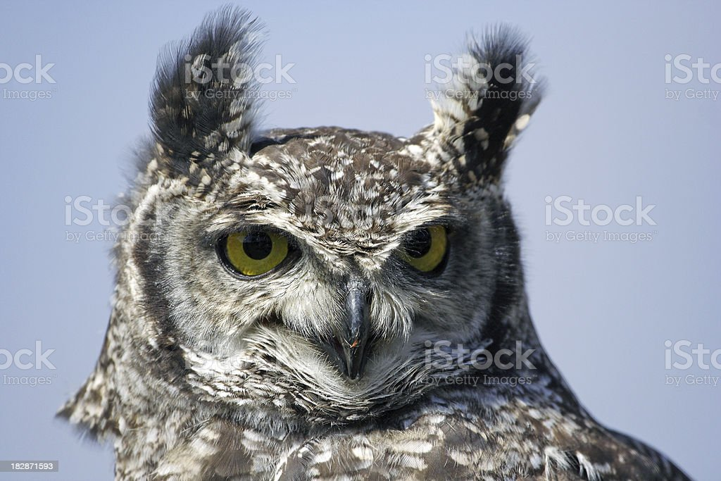 Spotted Eagle Owl Portrait stock photo