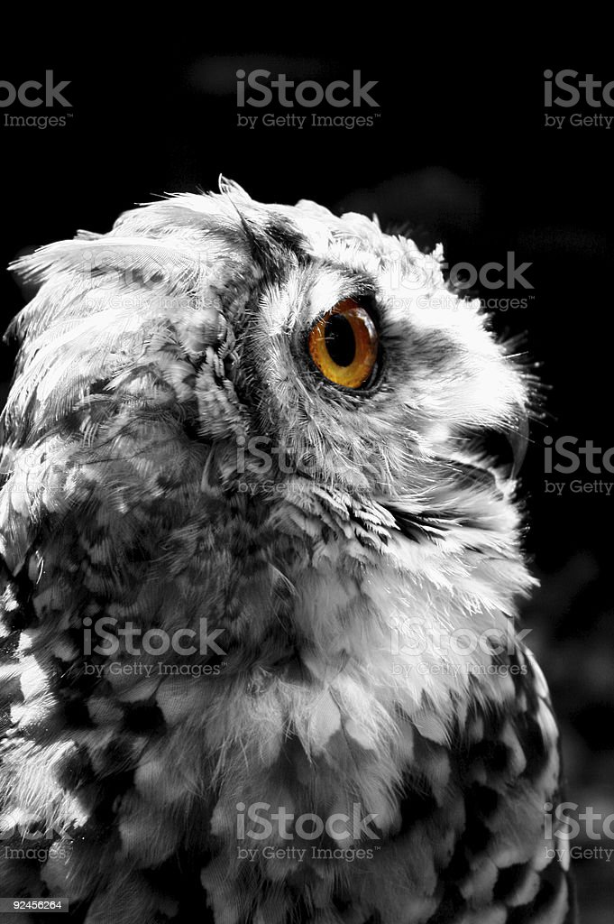 Spotted Eagle Owl [ wise old owl ] stock photo