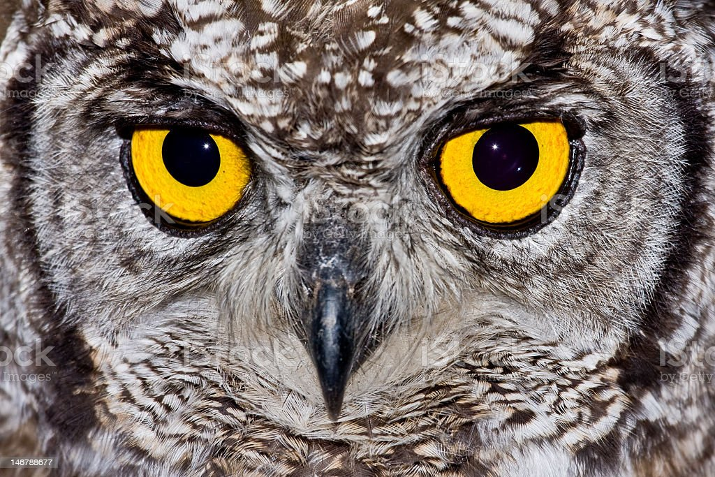 Spotted eagle owl with yellow eyes stock photo