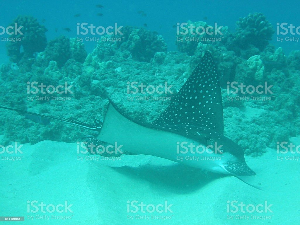 Spotted Eagle Ray Feeding royalty-free stock photo