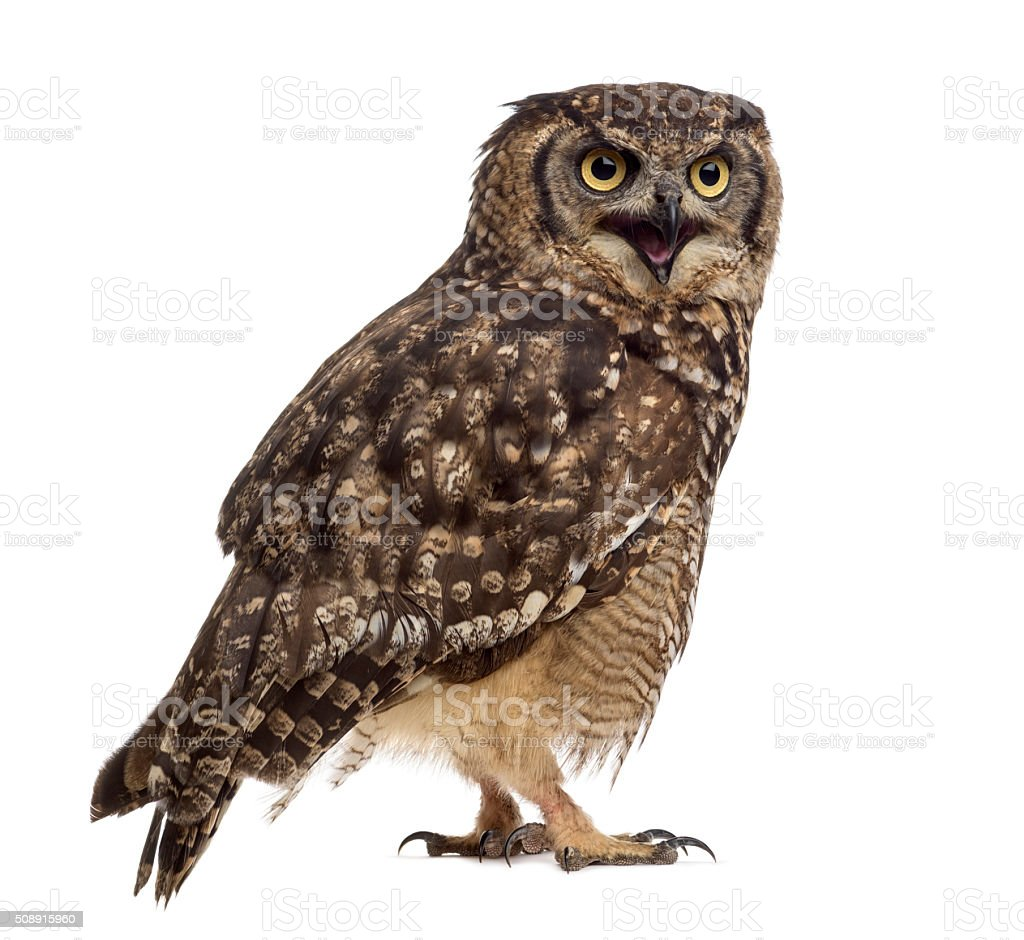 Spotted eagle-owl - Bubo africanus (4 years old) stock photo