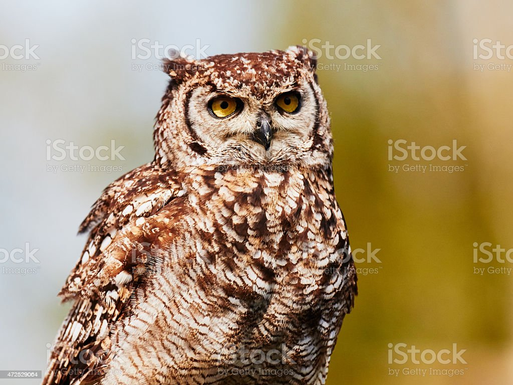Spotted eagle-owl in a tree stock photo