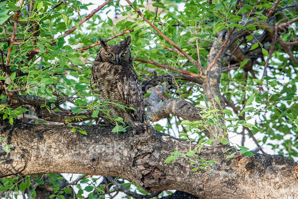 Spotted Eagle-Owl in Kruger National park, South Africa stock photo