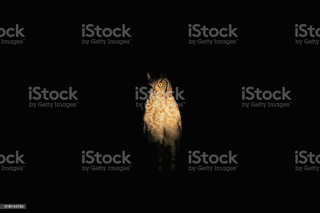 Spotted eagle-owl in the spotlights stock photo