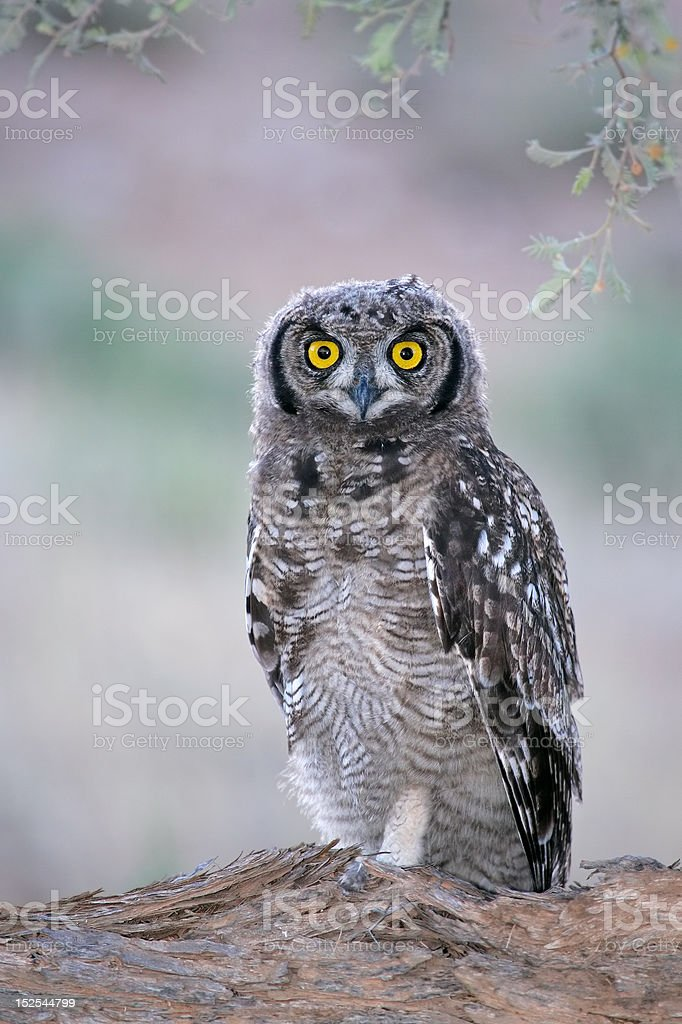 Spotted eagle-owl stock photo