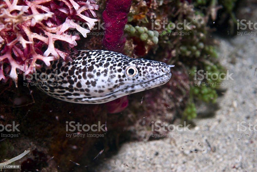 spotted eel underwater stock photo