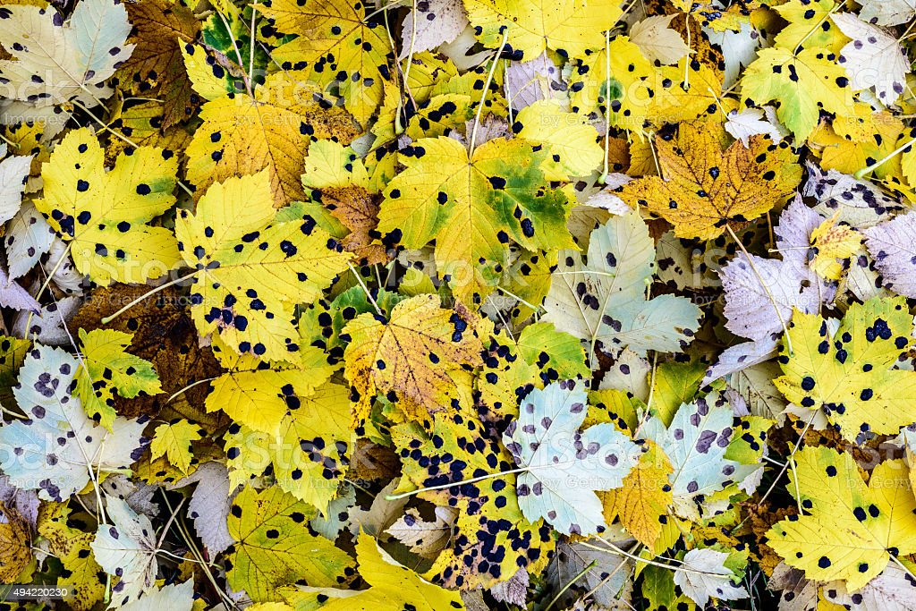 Spotted Fall Leaves. stock photo