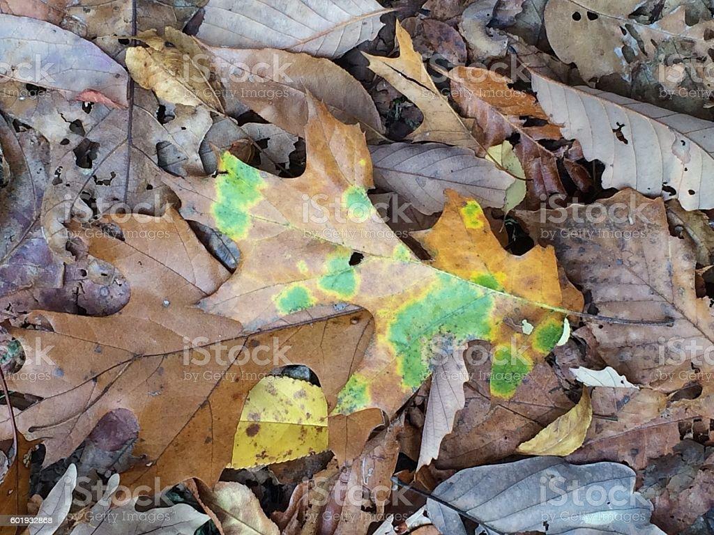 Spotted fall Oak Leaf stock photo