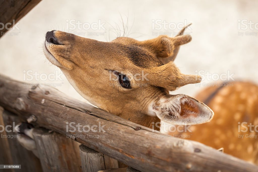 Spotted Fallow Deer stock photo