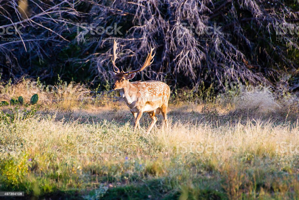 Spotted Fallow on a Stroll stock photo