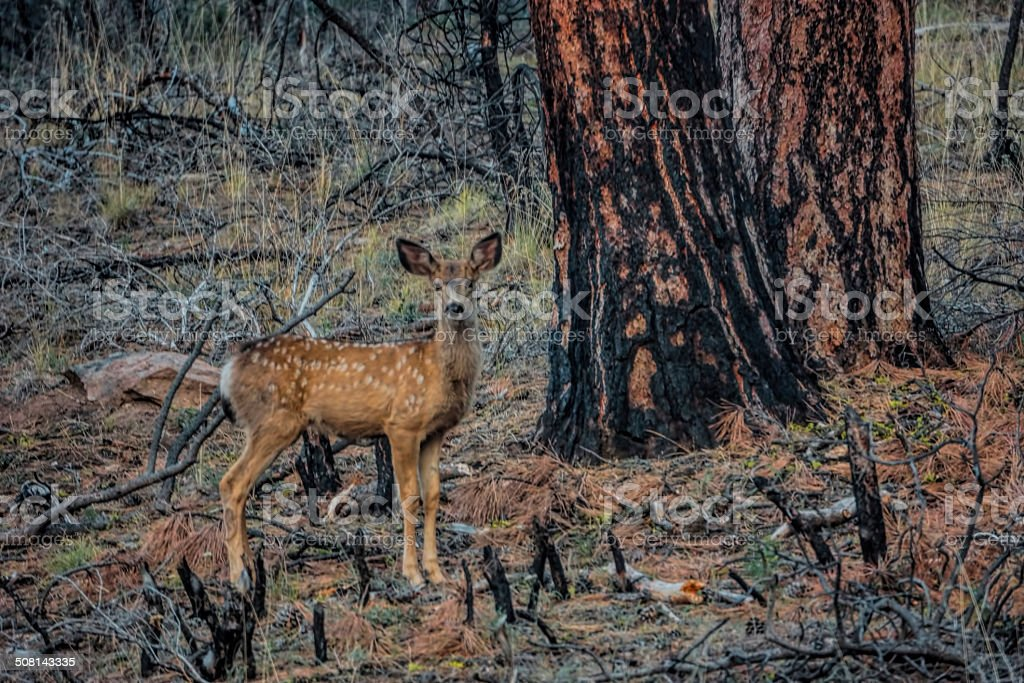spotted fawn and ponderosa pine stock photo
