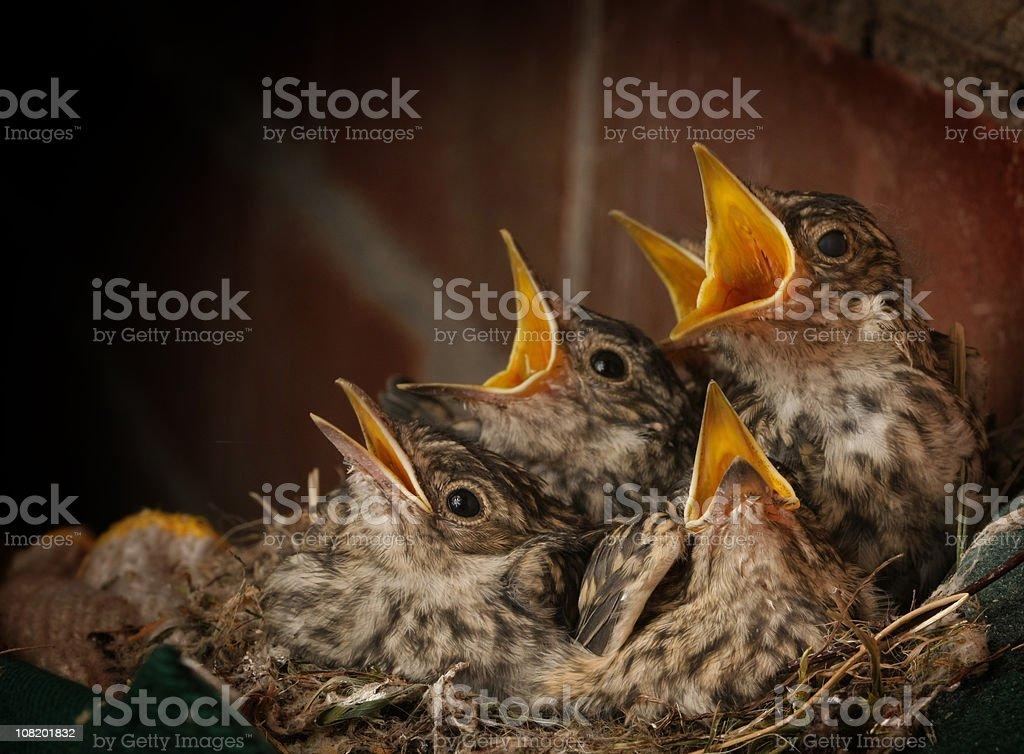 Spotted Flycatcher Baby Birds stock photo