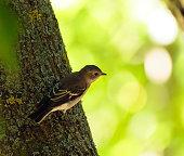 Spotted flycatcher bird