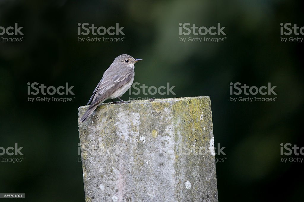 Spotted flycatcher, Muscicapa striata stock photo