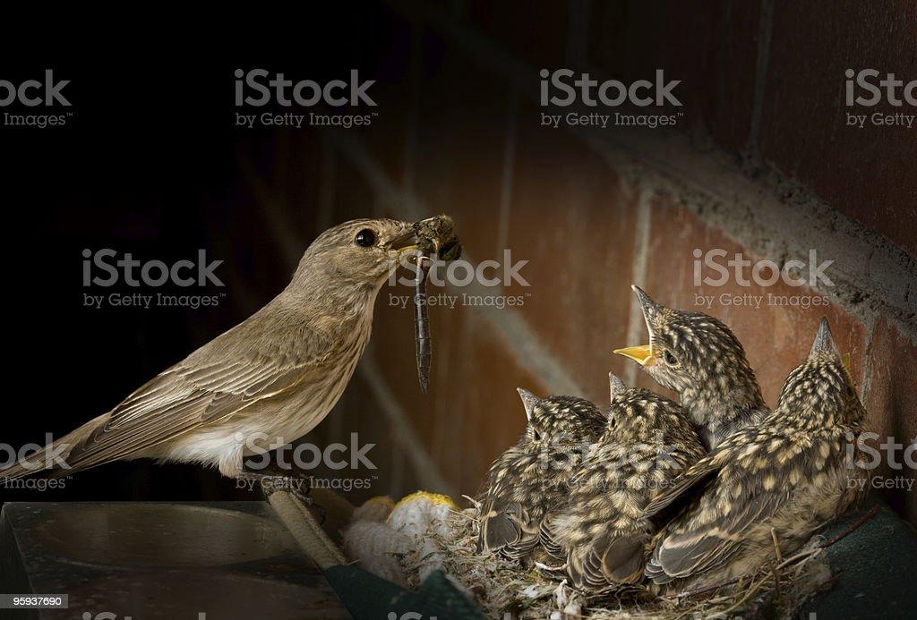 Spotted Flycatcher stock photo