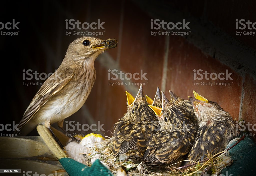 Spotted Flycatcher with Five Baby Birds stock photo