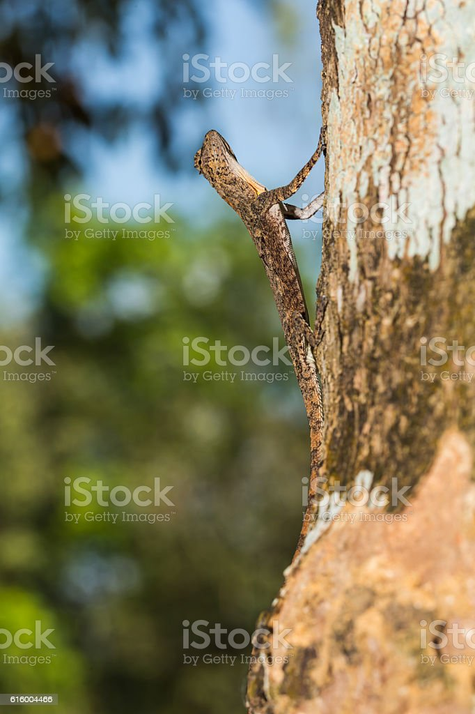 Spotted flying dragon stock photo
