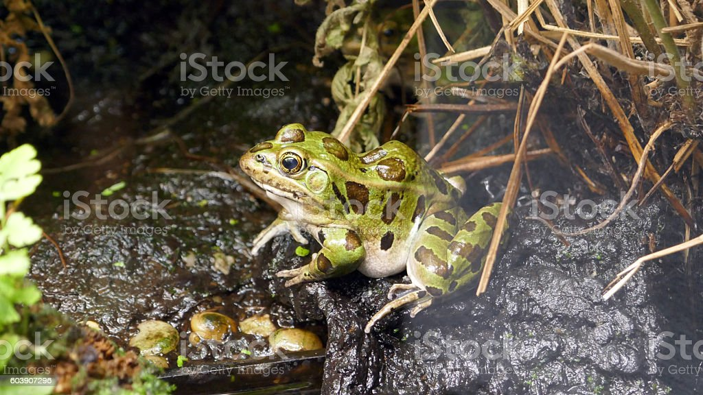 Spotted Frog stock photo