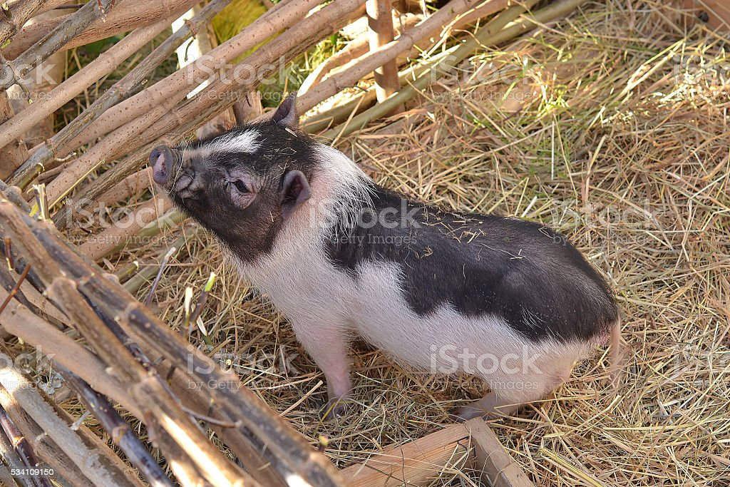 Spotted funny pig near the fence stock photo
