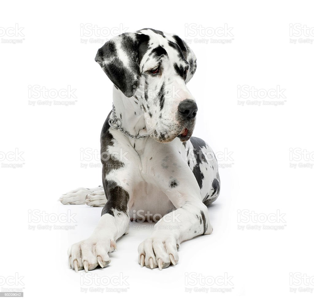 A spotted Great Dane dog resting before a white background stock photo