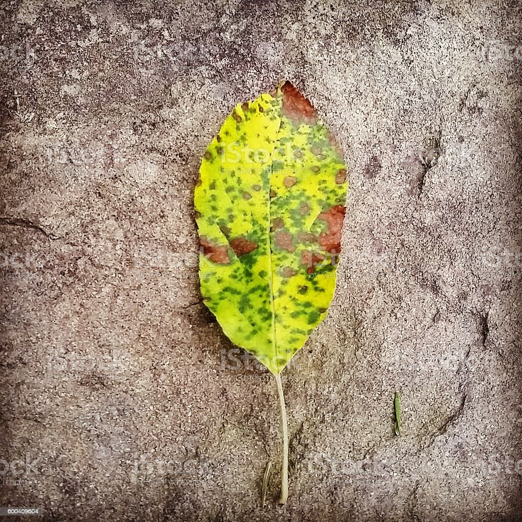 Spotted Green Fallen Leaf on Stone Nature Background stock photo