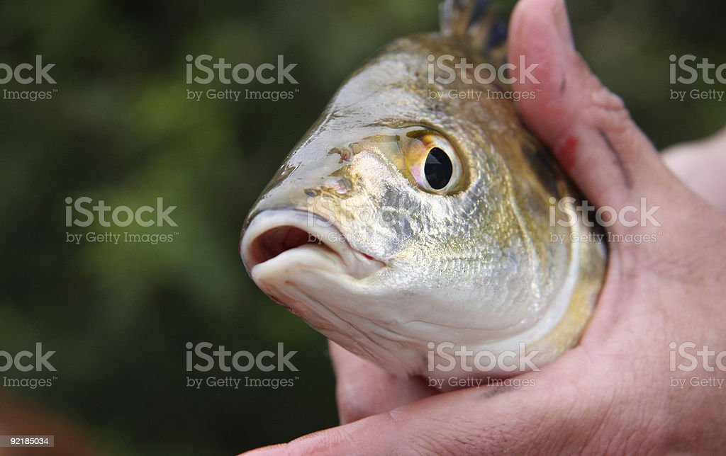 Spotted Grunter stock photo
