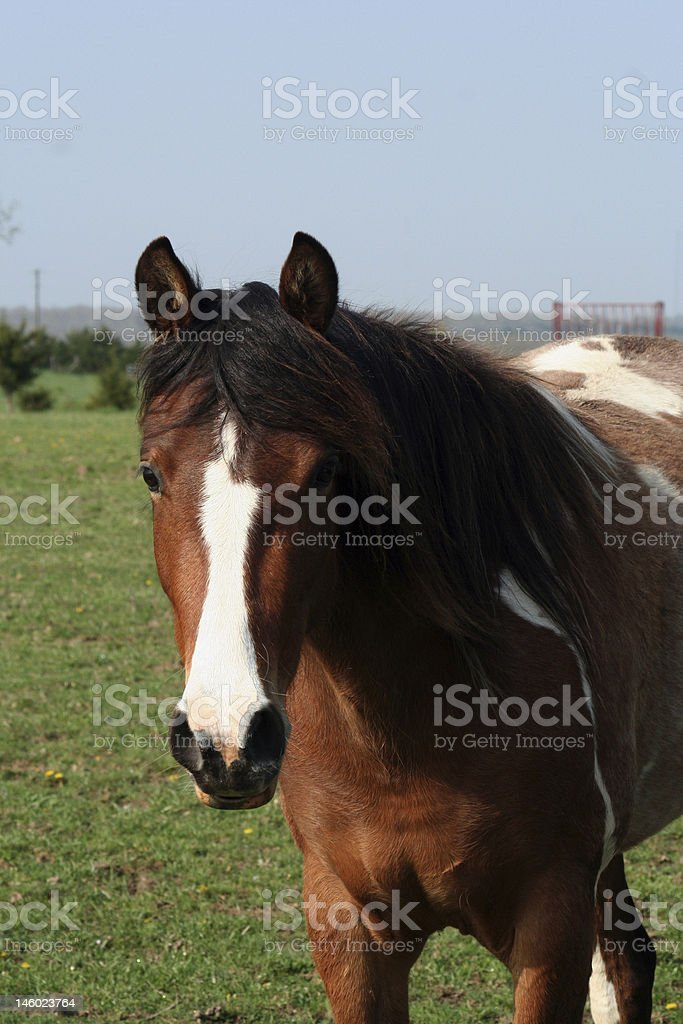 Spotted Horse Head Shot stock photo