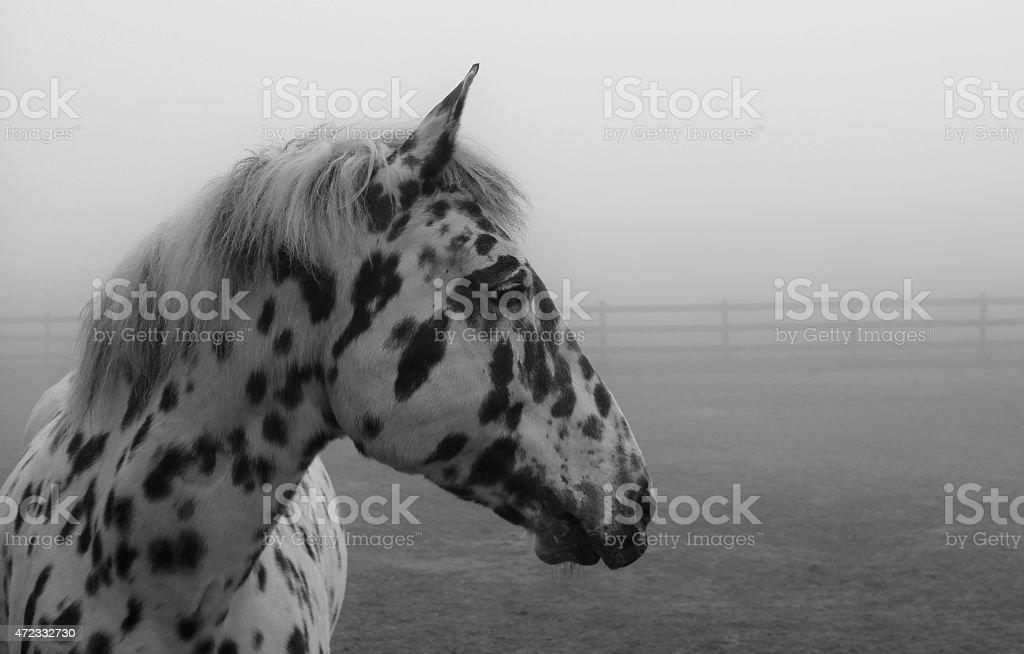 Spotted Horse Tigerschecke Knabstrupper stock photo